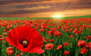 The Red Poppies
